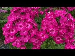 Яркий флокс Казаки-Разбойники, в моем саду