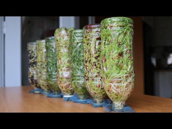 Đơn giản, nhanh Trồng mầm hỗn hợp và gỏi cuốn | Simple fast Growing mixed sprouts spring rolls