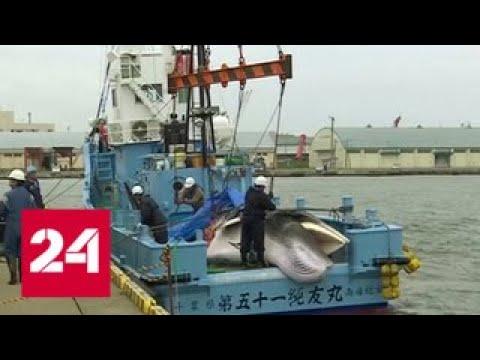 Запрета больше нет в Японии на берег привезли первого убитого кита Россия 24