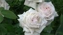 Роза Madame Anisette Кордес Информация о выращивании Подкормка роз после первой волны цветения