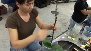 Как рождаются и живут орхидеи в Голландских питомниках перед тем, как попасть в цветочный магазин?