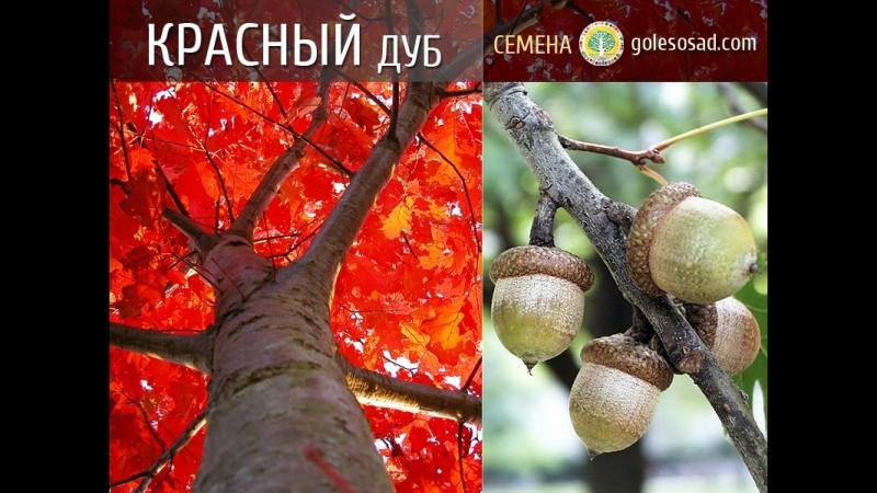 Красный дуб