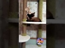 Кот медитирует в гамаке с бабочкой / Cat meditates in a hammock with a bow tie shorts