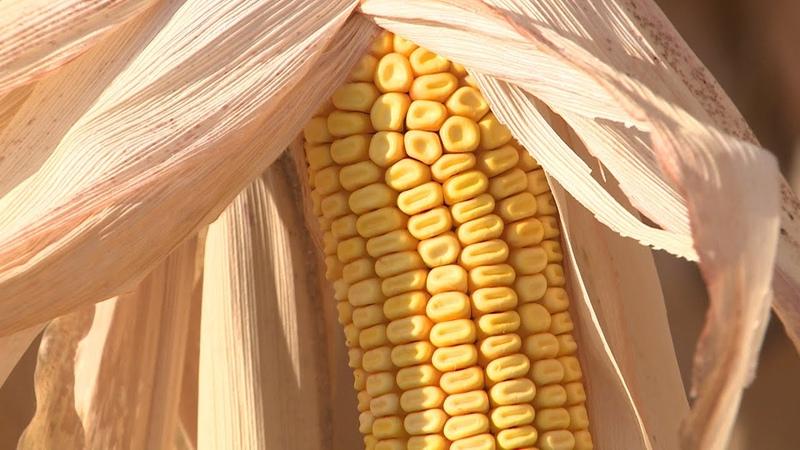 Волгоградские аграрии собирают урожай кукурузы
