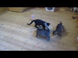 Котята и лазерная указка.