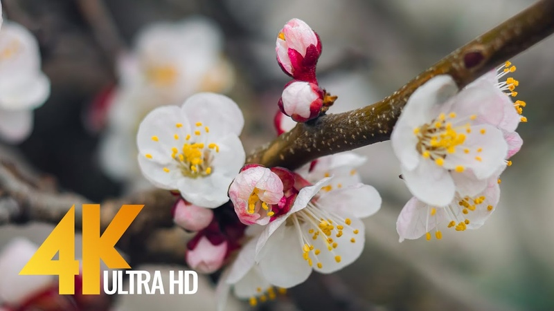 Apricots in Bloom 4K Spring Flower Footage for Destress Relaxation Restoration 3 HRS