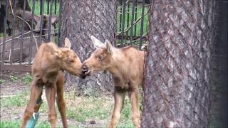 В семействе лосей родились два лосёнка