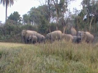Дикие слоны убили 10 человек в Индии (новости)