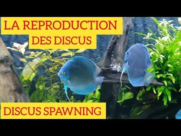 La reproduction de discus. Discus spawning. Aquarium 250×60×50, 750 l.