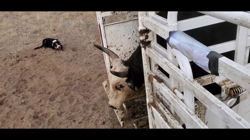 Catching bulls and loading them in the Big Bend Trailer with Satus Jet Brodey Bear and Brick