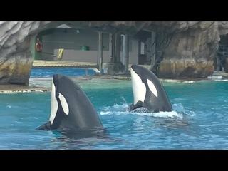 Orca Encounter (8 Orcas Perform) Aug. 14, 2021 - SeaWorld San Diego