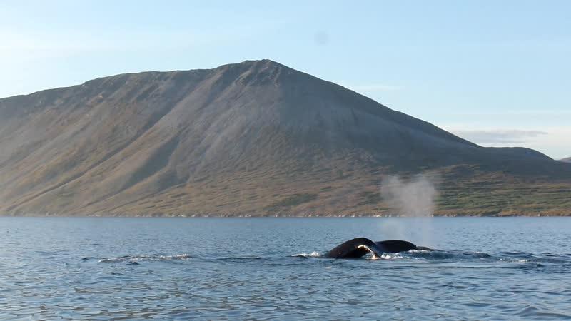 Горбатые киты в проливе Синявина