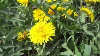уфа россия цветения одуванчика в городе. 20 апреля 2021 russia grass flower lawn nature Russia plant