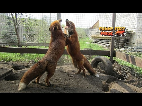 Two Foxes Playing Together in Slow Motion