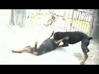 собачьи бои ротвейлер против добермана