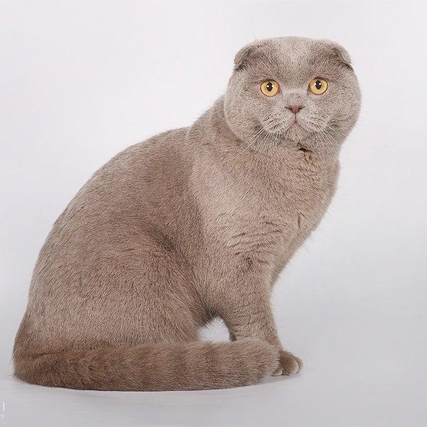 нужно лиловый окрас шотландских кошек фото цене них пределах