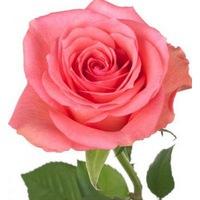 Роза чайно гибридная Декора