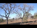 Леопард охотится на обезьяну верветку (Leopard hunting vervet monkey)