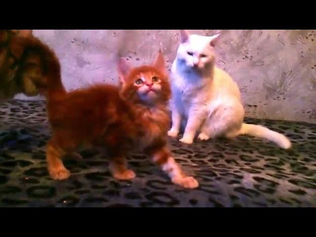 Ухохотались пока выкладывали в сеть Один из малышей дерётся с котом в 5 раз больше себя