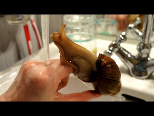 Ручная улитка ахатина купается в раковине. Achatina fulica