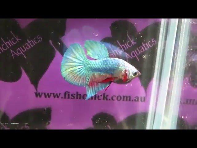 Fishchick Auctions Big Tail Halfmoon Plakad Male (newlisting)