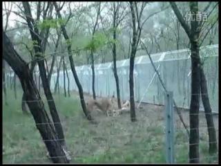 Два львенка убивают самца тигра