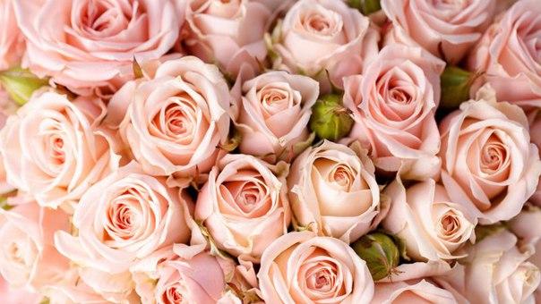 Обои Розы Бесплатно