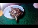 сухопутная черепаха всё о содержании в домашних условиях