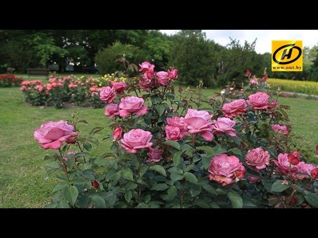 Розарий Минского ботанического сада: самое богатство можно увидеть в июле