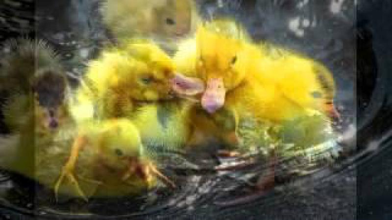 Lagzi Lajcsi Egy kis kíváncsi kacsa