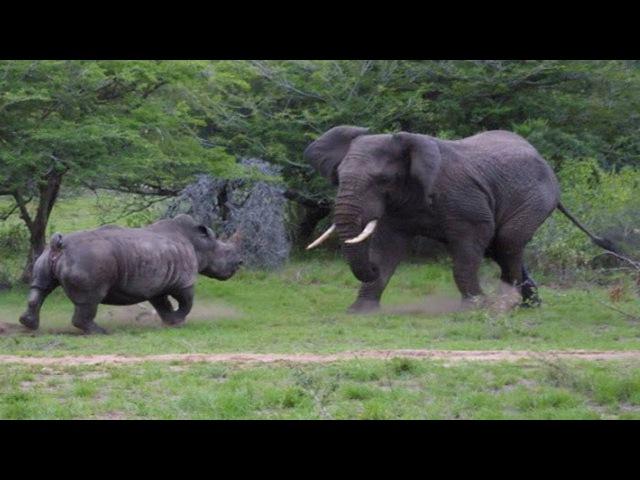 Версус. На что способен носорог против слона буйвола и льва! битвы животных