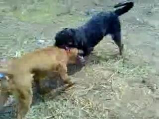 Собачьи бои     Ротвейлер против Питбуля