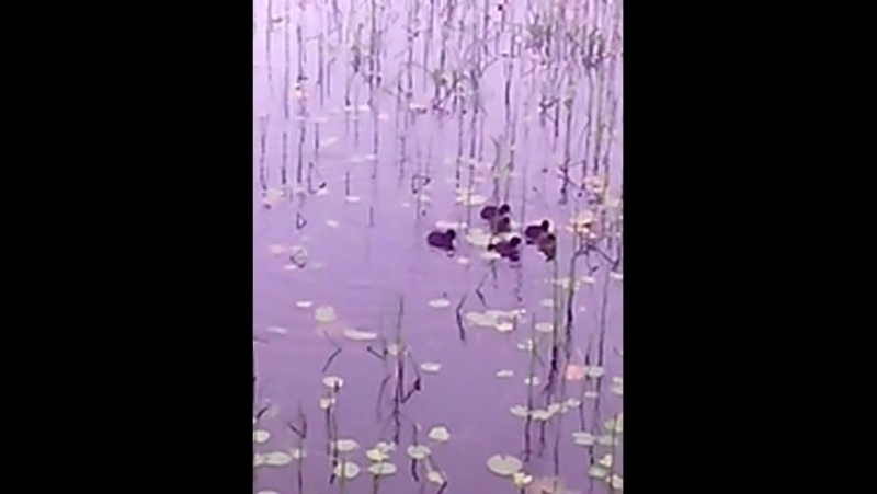 Утки на озере Вероярви
