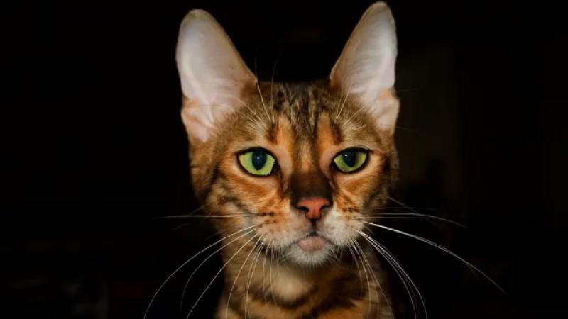 ТОП 5-очень редких и необычных пород кошек