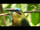 Keel billed Motmot Ребристоклювый электрон Electron carinatum