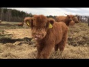 Scottish Highland Cattle In Finland: Osku the fluffy calf, always ready for some filming