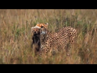 African Cats HD
