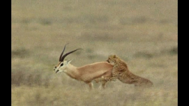 BBC Жизнь млекопитающих The Life of Mammals 2002 2003 05 Плотоядные