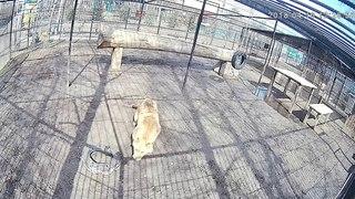 Веб-камеры К24: львица радуется солнцу в Барнаульском зоопарке
