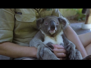The worlds most chilled Koala