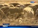 Овцеводы Дона успешно развивают мясное животноводство