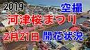 2019年 河津桜まつり 2月21日 河津桜 開花状況 空撮MAVIC PRO