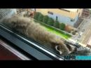 Waschbär klettert auf Hochhaus GMX