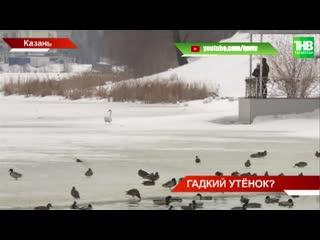 На озере Кабан в Казани пара лебедей не подпускает близко новеньких сородичей