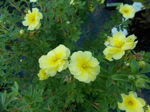 Лемон Меринге (Lemon Meringue)