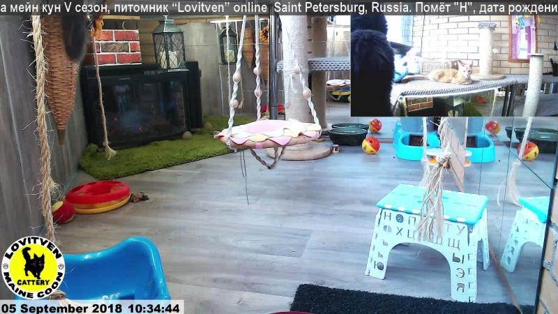 Live: Прямая трансляция котят мейн кун, из питомника