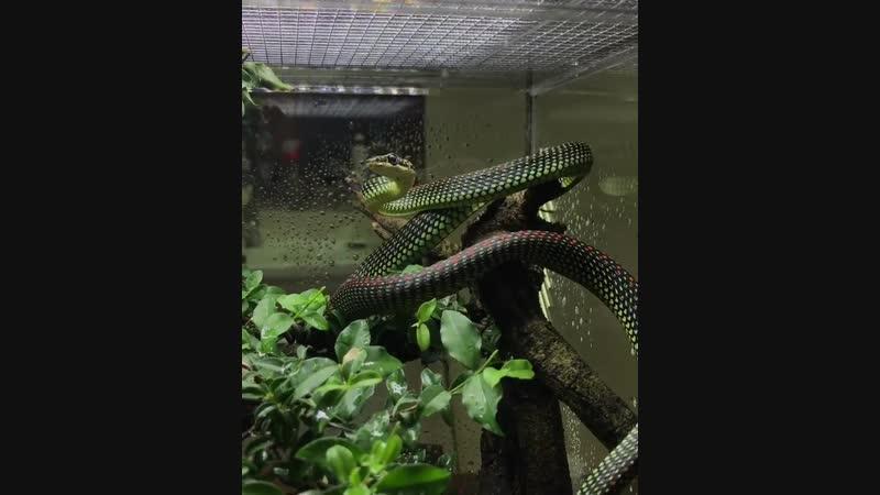 Райская украшенная змея Chrysopelea paradisi