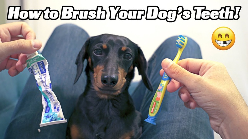 How to Brush Your Dog s Teeth with Crusoe the Dachshund