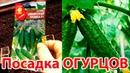 Посадка семян огурцов в торфяные горшочки в теплице Сорта огурцов Престиж F1 и Сибирская тройка F1