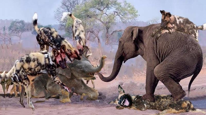 20 chó hoang M ng cổ đối đầu voi rừng kẻ săn mồi nguy hiểm bậc nhất châu phi săn mồi kh ng biết sợ